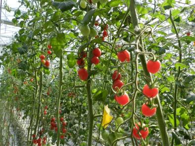 西紅柿采摘大棚