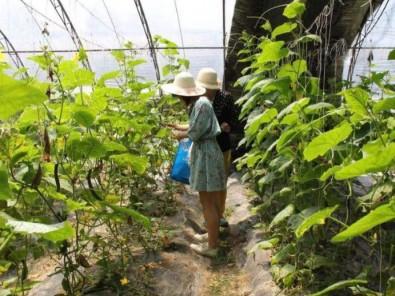 黃瓜采摘大棚